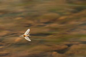 Sulphur mayfly