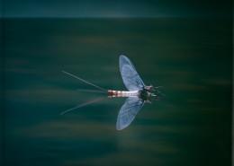 Danica mayfly