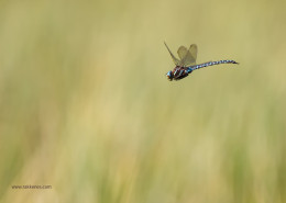 Mating Dragonfly