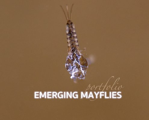 Emerging Mayfly