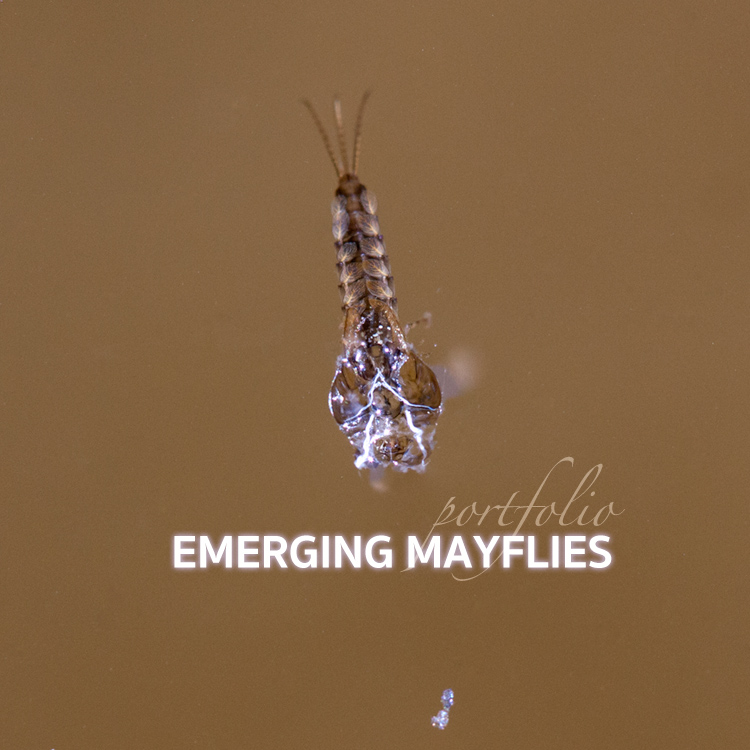 Emerging Mayfly