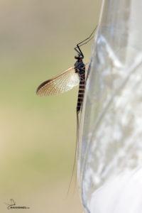 Sepia Dun - Leptophlebia Marginata