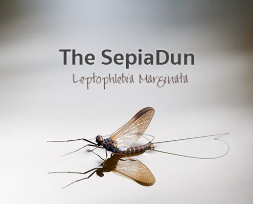 The Sepia Dun - Leptophlebia Marginata