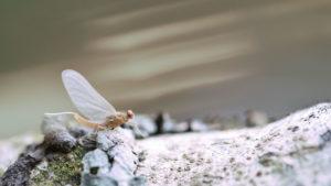 MAYFLY FLY TYING PATTERNS